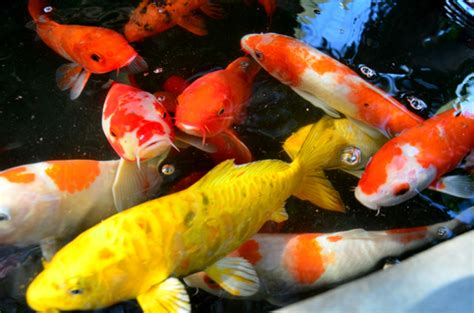 common koi fish pond problems   solutions