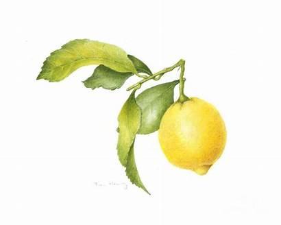 Lemon Painting Watercolor Henig Fran Botanical Prints