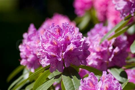 green shrub with pink flowers red plant rhododendron closeup flower garden pink nature beauty spring leaf beautiful