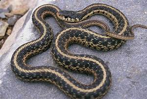 Common Garter Snake Facts and Pictures | Reptile Fact