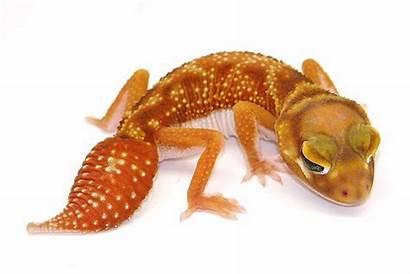 Nephrurus Levis Animals Dragon Sphotos Fbcdn Ak