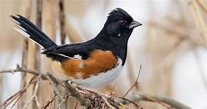 Eastern Towhee Life History  All About Birds  Cornell Lab