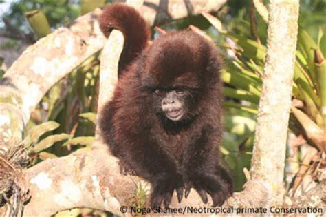 EDGE mammals on top endangered primates list EDGE of