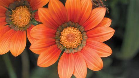 orange dahlia flower picture preview wallpapercom