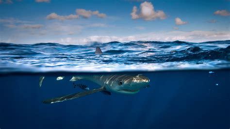Blue Shark - Bing Wallpaper Download