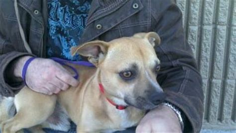 chipit chihuahua american pit bull terrier mix info
