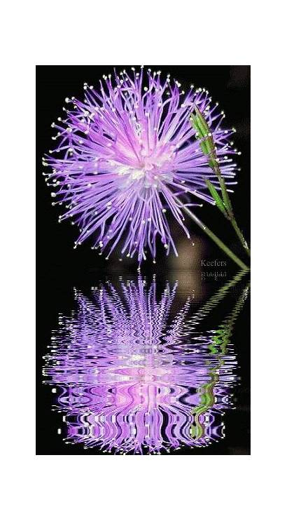 Animated Flowers Flower Water Reflection Reflections Photobucket