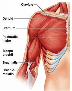 Biceps Muscles Biceps Brachii Biceps Femoris