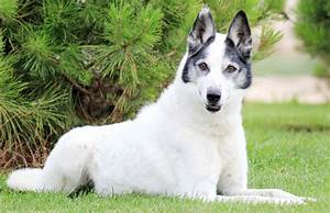 Australian Cattle Dog Mix Alaskan Husky | Dog Breeds Picture