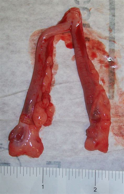 Shedding Of The Endometrial Lining Occurs by Hatton Veterinary Hospital April 2015