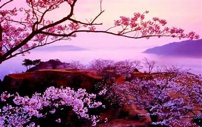 Sakura Tree Cherry Japanese Nature Desktop Wallpapers