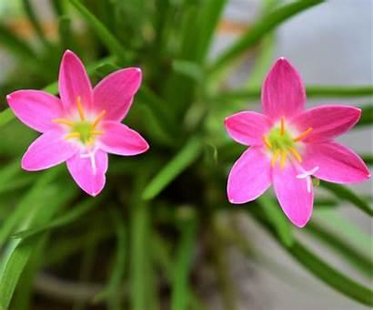 Lily Rain Plant Zephyranthes Flowering Robusta Nestreeo