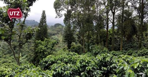 Where visitors learn about coffee, from the plantation to the. UTZ The UTZ-Rainforest Alliance merger; a sustainability homecoming - UTZ