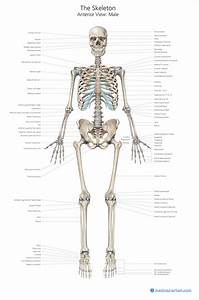 Anatomy Posters For Sale Created By Medical