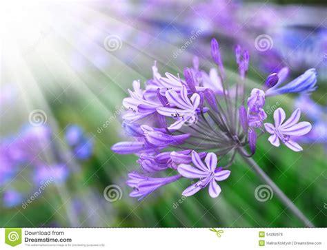 afrikanische lilie überwintern afrikanische lilie blaue blumen ausf 252 hrliche vektorzeichnung stockfoto bild bl 252 te