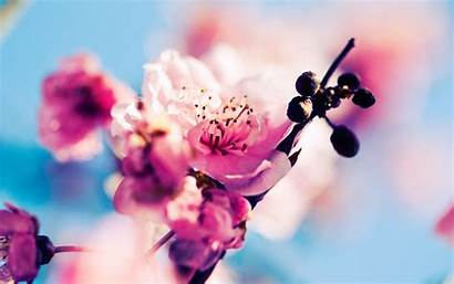 Sakura Wallpapers Desktop Windows