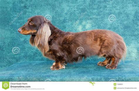 Dog Daschund Long Haired Stock Image Image