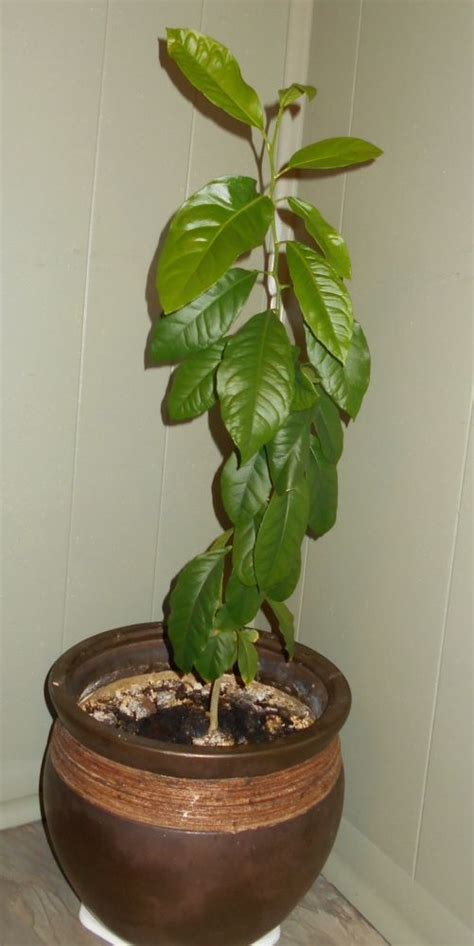 hometalk growing lemon tree  seeds