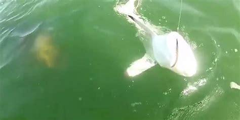 grouper goliath shark eats bite