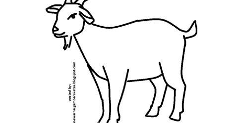 mewarnai gambar mewarnai gambar sketsa hewan kambing 2