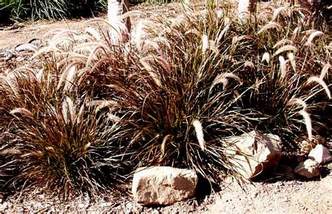 pennisetum eaton san marcos growers gt products gt plants gt another image