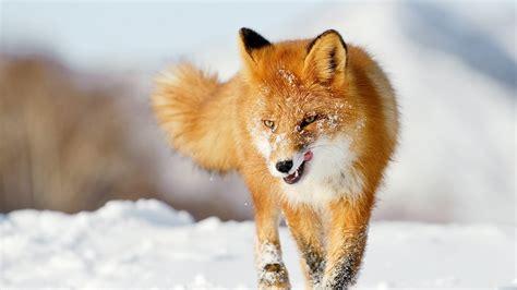 zorro en la nieve  fondos de pantalla