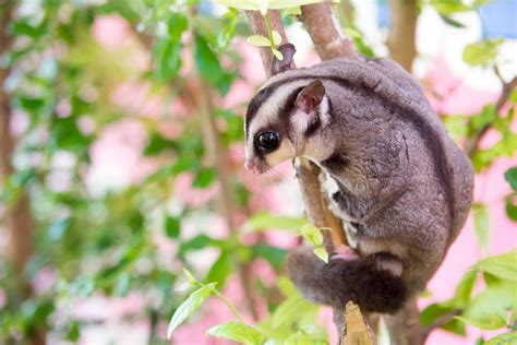 sugar glider facts 50 wonderfully enthralling facts about the lovely sugar gliders