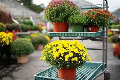 Mums Mahoney Garden Plant Center Variety