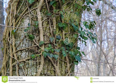 tronc d arbre avec le lierre commun photo stock image