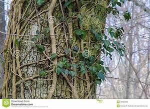 Achat Tronc Arbre Decoratif : tronc d 39 arbre avec le lierre commun photo stock image ~ Zukunftsfamilie.com Idées de Décoration