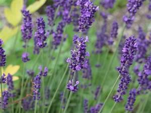Echter Lavendel Kaufen : lavandula angustifolia winterhart lavendel winterhart dunkelblauer lavendel hidcote blue ist ~ Eleganceandgraceweddings.com Haus und Dekorationen
