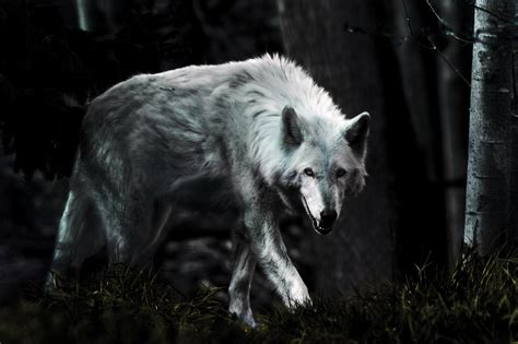 1080p Wolf Wallpaper Hd by Hd Wolf Wallpapers 1080p 71 Images