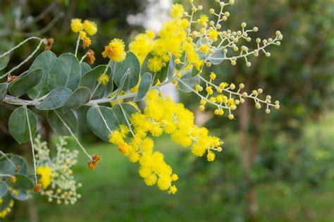 acacia pearl wattle silver queensland tree golden