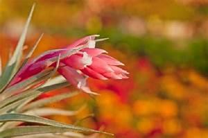 Tillandsia, pianta d'appartamento senza substrato PolliceGreen