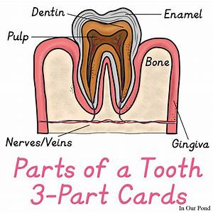 Tooth 3-part Cards