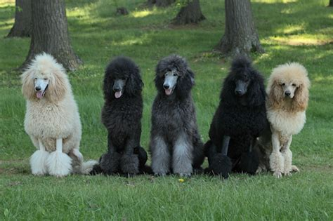 silver poodles poodle forum standard poodle toy