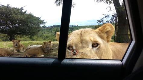 south africa safari goers scream  lion works