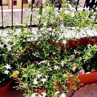 gelsomino coltivazione in vaso piante in vaso il gelsomino
