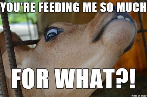 Funny Cow Memes - funny cow askideas com