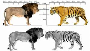 Image Gallery lion vs tiger size