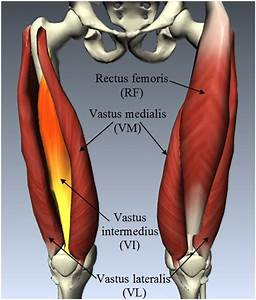 Anatomy Of Quadriceps Femoris Muscle Group  Which Includes