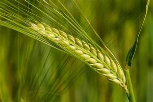 Barley Allergy In Horses