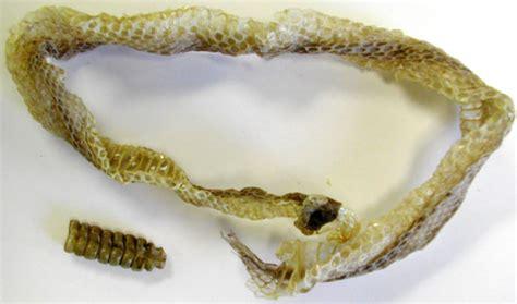 rattlesnake shed skin rattle biol 453 comparative vert anatomy amniote skin photos