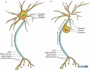 Histology Of The Peripheral Nerves And Light Microscopy