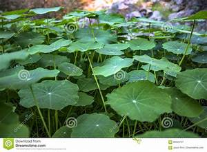 Green Leaves Look Like Lily Pads Out Of Water Stock Image