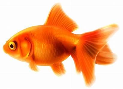 Goldfish Fish Clipart Gold Fancy Transparent Right