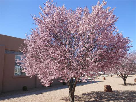 purple leaf flowering plum tree trees that please nursery march 2013