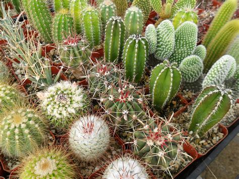 pictures of cactuses succulents plants sydney add a unique touch to your garden with succulents and cactus plants