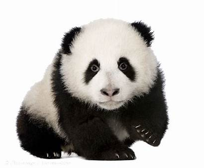 Panda Giant Animal China Pandas Cub Famous