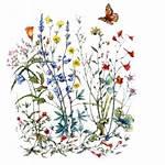 Flower Botanical Wildflower Wild Drawing Transparent California